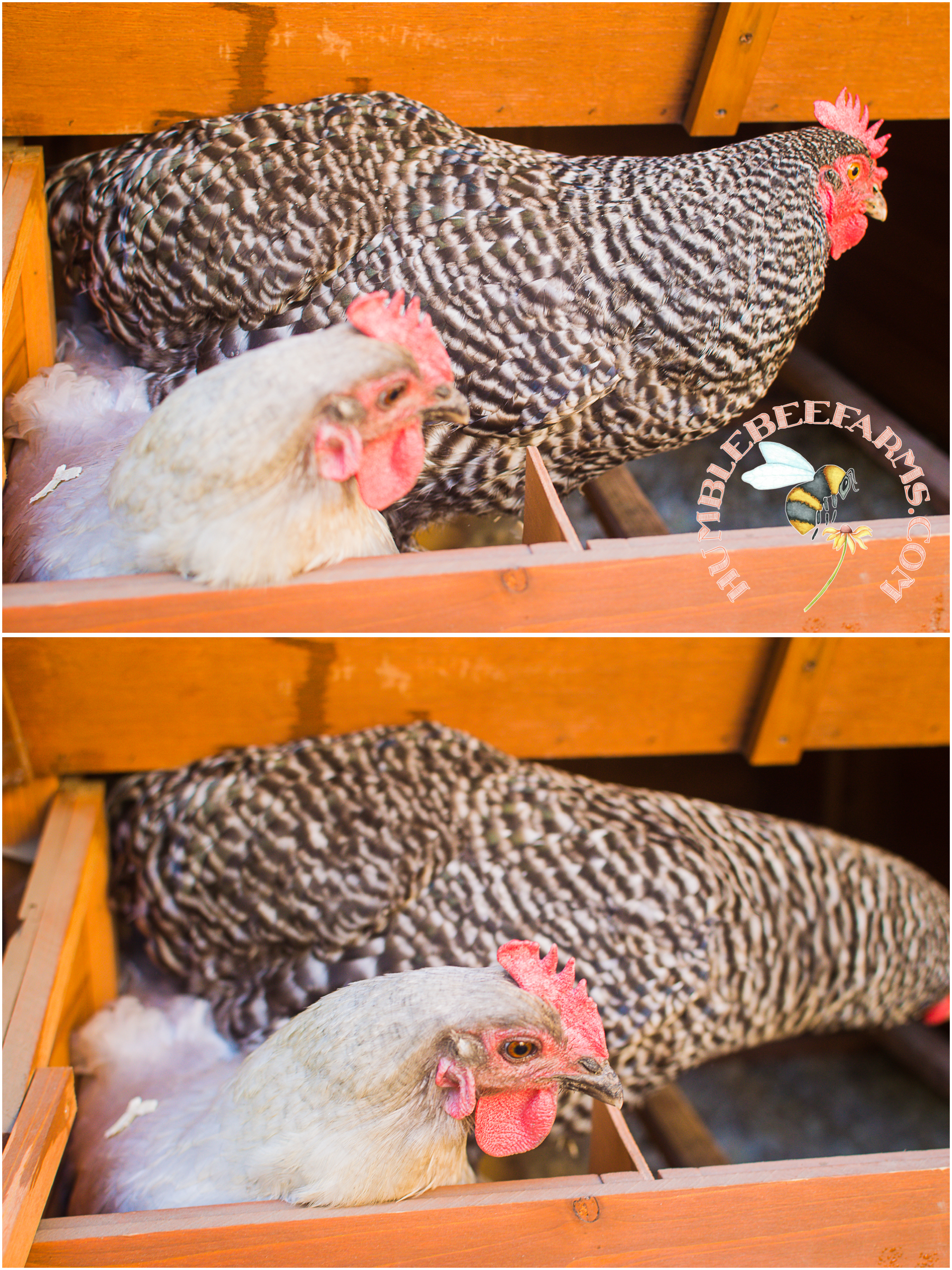 Chickens In Nest Box